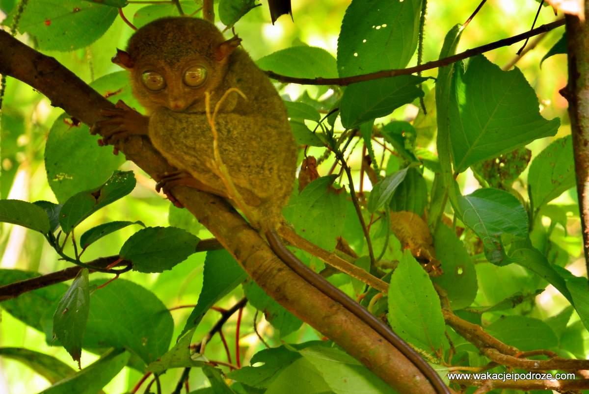 tarsier - bohol