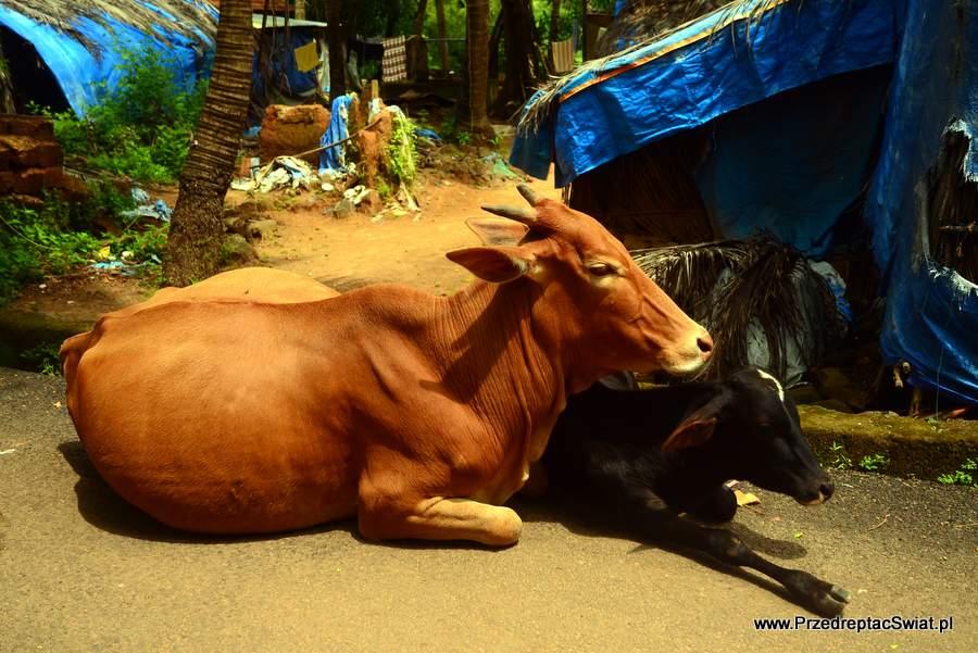 Krowy w Indiach
