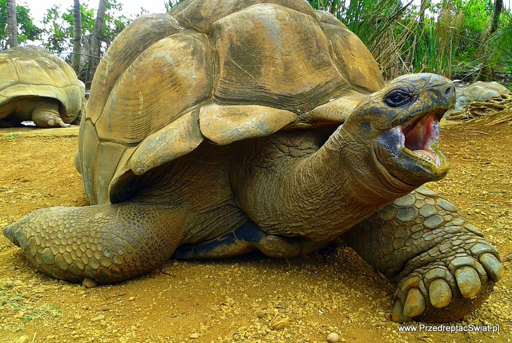 Mauritius żółw olbrzymi