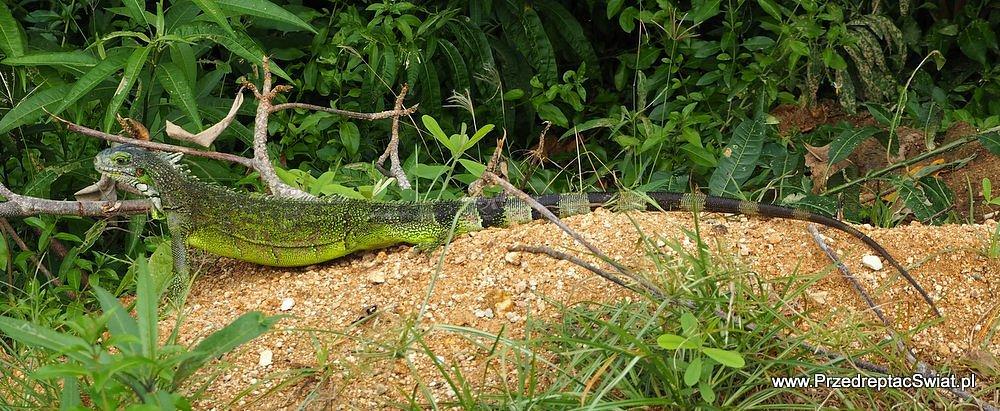 Co warto zobaczyć na Les Saintes - iguana