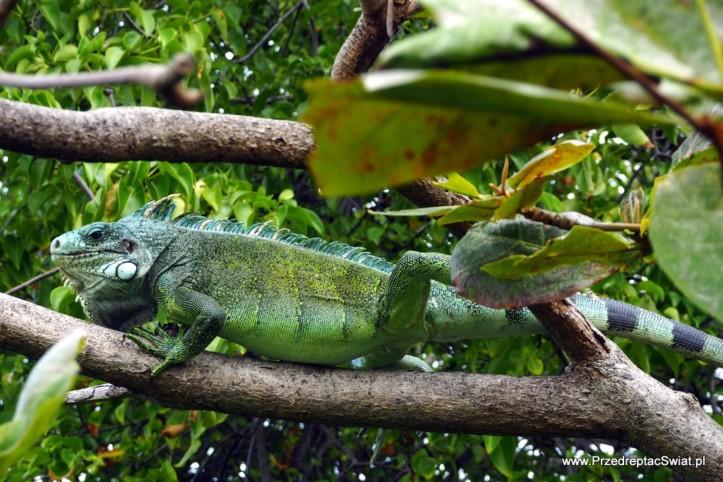 Iguany na Gwadelupie